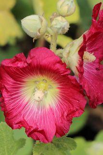 Feigenblättrige Stockrose - Alcea ficifolia