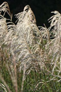 Feinhalm-Chinaschilf 'Graziella' - Miscanthus sinensis 'Graziella'
