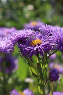 Feinstrahl 'Schöne Blaue' - Erigeron speciosus 'Schöne Blaue'