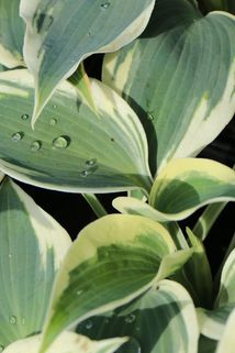 Funkie 'Blue Ivory' - Hosta x cultorum 'Blue Ivory'