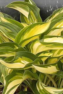 Funkie 'Lakeside Little Tuft' - Hosta x cultorum 'Lakeside Little Tuft'