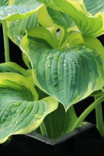 Funkie 'Orions Belt' - Hosta x fortunei 'Orions Belt'