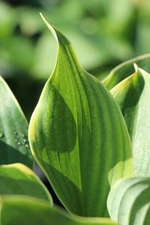 Funkie 'Super Sagae' - Hosta x cultorum 'Super Sagae'