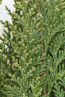 Gartenzypresse 'White Spot' - Chamaecyparis lawsoniana 'White Spot'