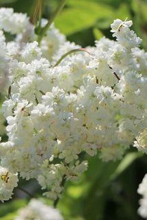 Gefülltblühende Rüsterstaude 'Plena' - Filipendula vulgaris 'Plena'