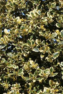 Gelbbunte Stechpalme 'Golden van Tol' - Ilex aquifolium 'Golden van Tol'