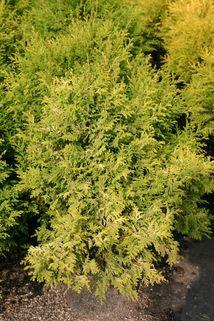 Gelbe Mooszypresse 'Plumosa Aurea' / Goldfederzypresse - Chamaecyparis pisifera 'Plumosa Aurea'