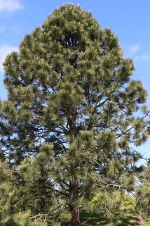 Gelbkiefer / Kiefer - Pinus ponderosa