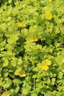 Gelblaubiges Pfennigkraut 'Aurea' - Lysimachia nummularia 'Aurea'