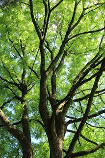 Geweihbaum - Gymnocladus dioicus