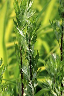 Gewöhnlicher Beifuß - Artemisia vulgaris