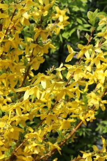 Goldglöckchen / Forsythie 'Week End' ® - Forsythia x intermedia 'Week End'