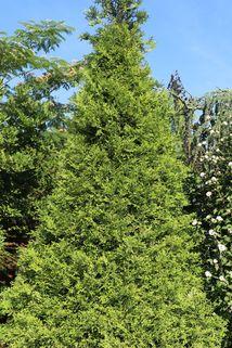 Goldspitzen Lebensbaum 'Aurescens' - Thuja plicata 'Aurescens'