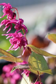 Großblütige Elfenblume 'Rose Queen' - Epimedium grandiflorum 'Rose Queen'