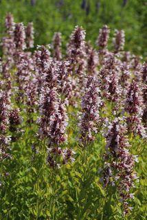 Großblütige Katzenminze 'Dawn to Dusk' - Nepeta grandiflora 'Dawn to Dusk'