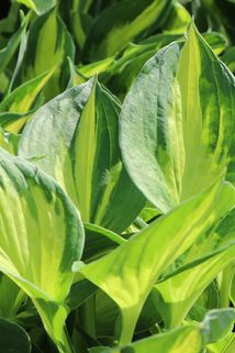 Grünrandige Funkie 'Morning Light' - Hosta x fortunei 'Morning Light'