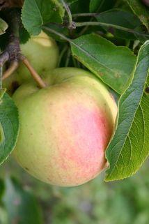 Herbstapfel 'Pirella-Syn.Pirol' ® - Malus 'Pirol' ® / 'Pirella'