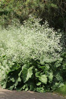 Herzblättriger Blütenkohl - Crambe cordifolia