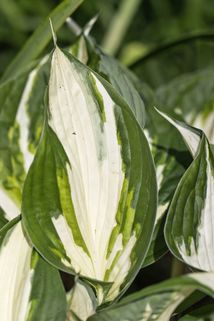 Herzblattlilie 'Fire and Ice' - Hosta x fortunei 'Fire and Ice'