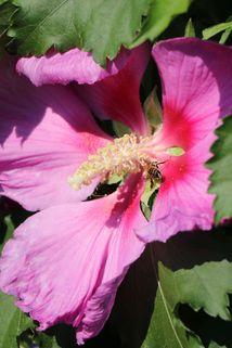 Hibiskus 'Big Hibiskiss' ® - Hibiscus syriacus 'Big Hibiskiss' ®