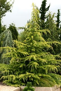 Himalaya-Zeder 'Golden Horizon' - Cedrus deodara 'Golden Horizon'