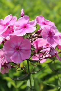 Hohe Flammenblume 'Sweet Summer Candy' - Phlox paniculata 'Sweet Summer Candy'