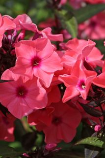 Hohe Flammenblume 'Sweet Summer Dream' - Phlox paniculata 'Sweet Summer Dream'