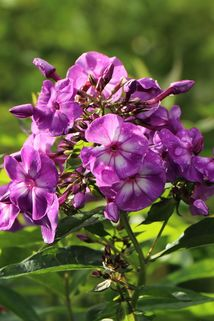 Hohe Flammenblume 'Sweet Summer Surprise' - Phlox paniculata 'Sweet Summer Surprise'