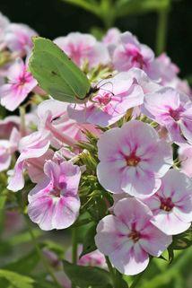 Hohe Flammenblume 'Younique Bicolor' - Phlox paniculata 'Younique Bicolor'