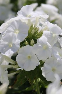 Hohe Flammenblume 'Younique White' - Phlox paniculata 'Younique White'