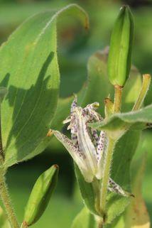 Hohe Krötenlilie - Tricyrtis macropoda
