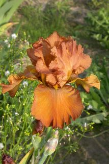 Hohe Schwertlilie 'Cable Car' - Iris x barbata-elatior 'Cable Car'