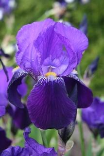 Hohe Schwertlilie 'Dark Triumph' - Iris x barbata-elatior 'Dark Triumph'