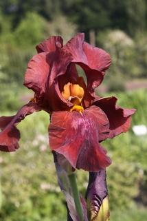 Hohe Schwertlilie 'Respectable' - Iris x barbata-elatior 'Respectable'