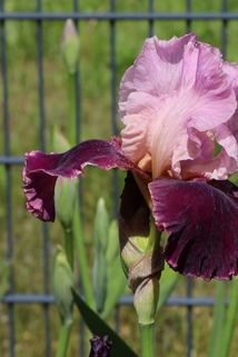 Hohe Schwertlilie 'Wine and Roses' - Iris x barbata-elatior 'Wine and Roses'