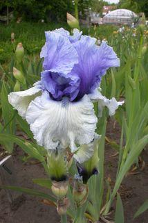 Hohe Schwertlilie 'Wintry Sky' - Iris x barbata-elatior 'Wintry Sky'