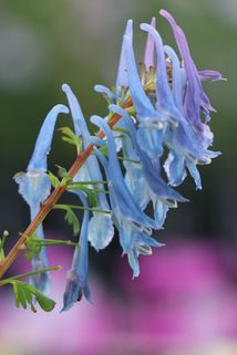 Hoher Lerchensporn 'Spinners' - Corydalis elata 'Spinners'