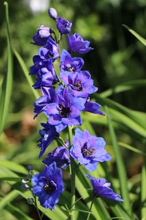 Hoher Rittersporn 'Delphi's Hollands Glorie' - Delphinium x elatum 'Delphi's Hollands Glorie'