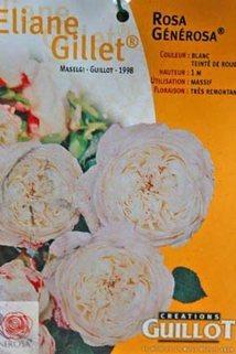 Guillot Rose 'Eliane Gillet' ® - Rosa 'Eliane Gillet' ®