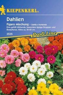 Dahlie 'Figaro' - Kiepenkerl ®