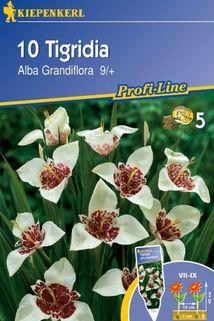 Tigrida 'Alba Grandiflora' - Kiepenkerl ®