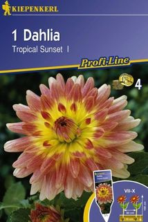 Dahlie 'Tropical Sunset' - Kiepenkerl ®