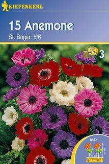 Anemone 'St. Brigid' - Kiepenkerl ®