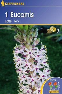 Eucomis 'Lotte' - Kiepenkerl ®