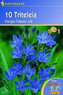 Triteleia 'Königin Fabiola' - Kiepenkerl ®