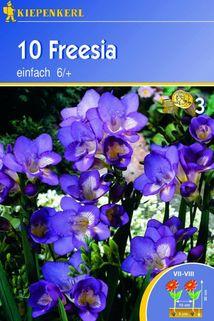 Freesia 'einfach blau' - Kiepenkerl ®