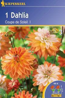 Dahlia 'Coup de Soleil' - Kiepenkerl ®