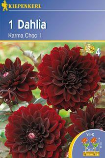 Dahlia 'Karma Choc' - Kiepenkerl ®