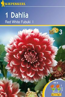 Dahlia 'Red White Fubuki' - Kiepenkerl ®