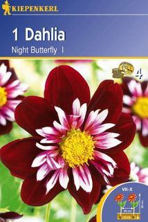 Dahlia 'Night Butterfly' - Kiepenkerl ®